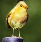 Natural Angry Bird - Yellow Bird