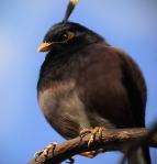 Natural Angry Bird - Bomber