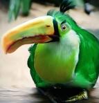Natural Angry Bird - Boomerang