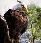 Natural Angry Bird - Mighty Eagle